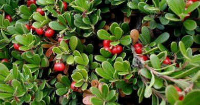 ТОЛОКНЯНКА ОБЫКНОВЕННАЯ (Arctostaphylos uva-ursi (L.) Adams.)