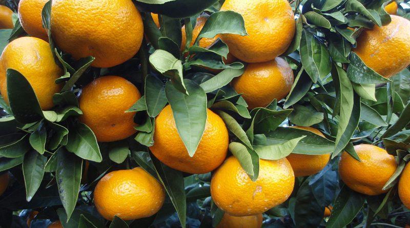 МАНДАРИН ЯПОНСКИЙ (Citrus unschiu Mars.)