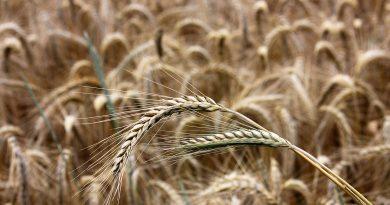 РОЖЬ ПОСЕВНАЯ (Secale cereale L.)