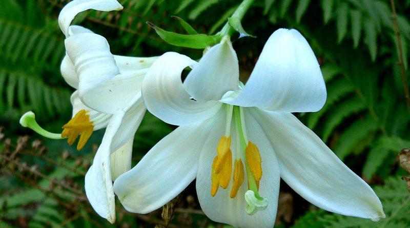 ЛИЛИЯ БЕЛАЯ (Lilium candidum L.)