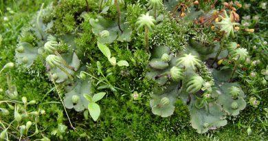 МАРШАНЦИЯ (печеночный мох) (Marchantia.)