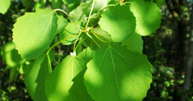 ОСИНА (Populus tremula L.)