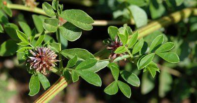СОЛОДКА ГЛАДКАЯ (солодка голая) (Glycyrrhiza glabra L.)
