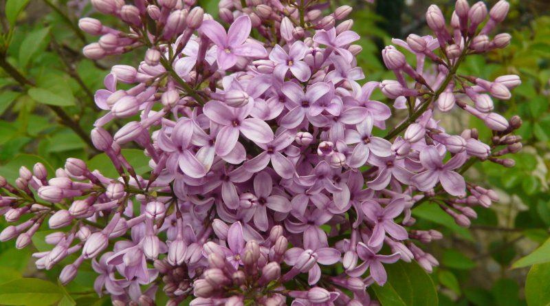 СИРЕНЬ ОБЫКНОВЕННАЯ (Syringa vulgaris L.)