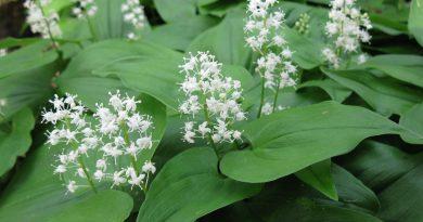 МАЙНИК ДВУЛИСТНЫЙ (Majanthemum bifolium (L.) F. W. Schmidt.)