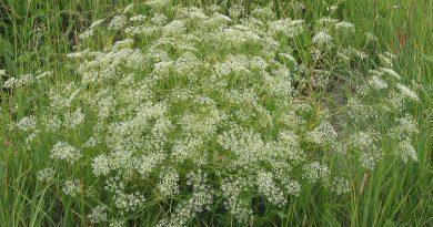 РЕЗАК ОБЫКНОВЕННЫЙ (Falcaria vulgaris Bernh.)