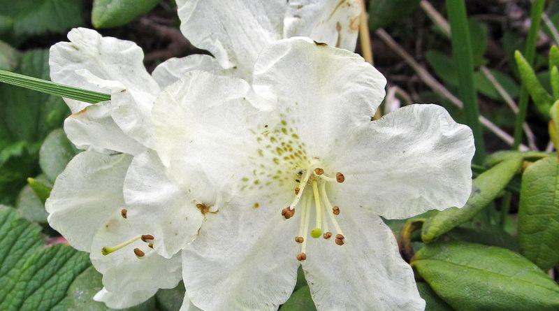 РОДОДЕНДРОН ЗОЛОТИСТЫЙ (Rhododendron aureum georgi.)
