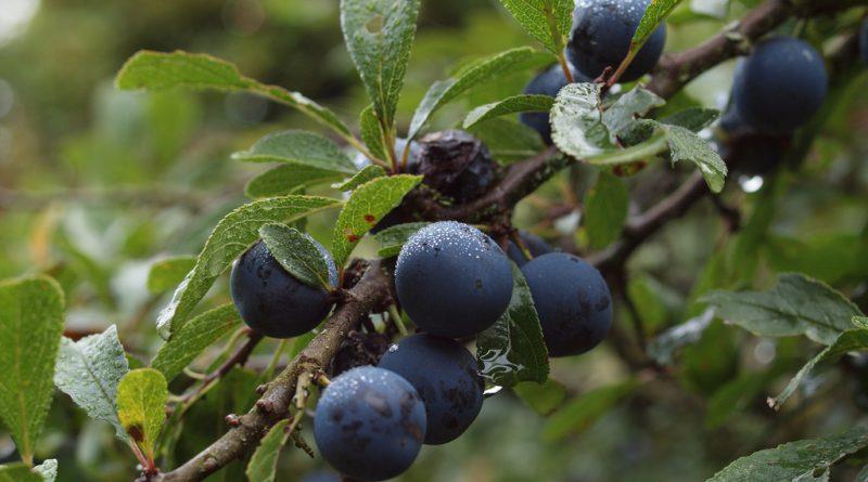 СЛИВА ДОМАШНЯЯ (Prunus domestica L.)