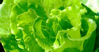 САЛАТ ПОСЕВНОЙ (Lactuca sativa L.)