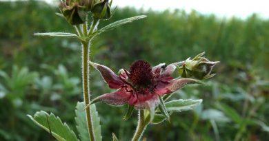 САБЕЛЬНИК БОЛОТНЫЙ (Comarum palustre L.)