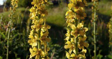 РЕПЕШОК ОБЫКНОВЕННЫЙ (Agrimonia eupatoria L.)