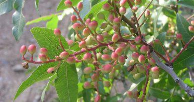 ФИСТАШКА НАСТОЯЩАЯ (фисташковое дерево) (Pistacia vera L.)
