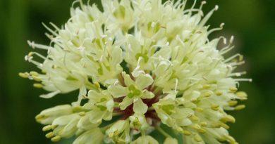 ЛУК ПОБЕДНЫЙ (Allium victoralis L.)