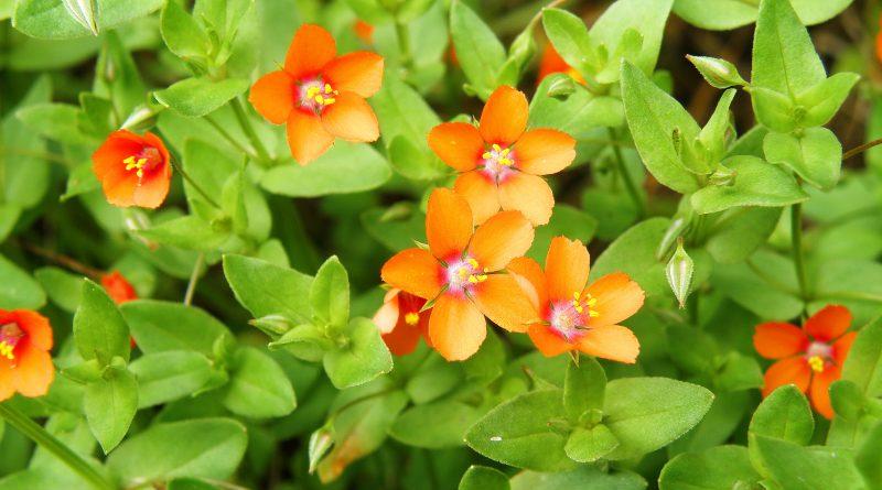 ОЧНЫЙ ЦВЕТ ПОЛЕВОЙ (Anagallis arvensis L.)