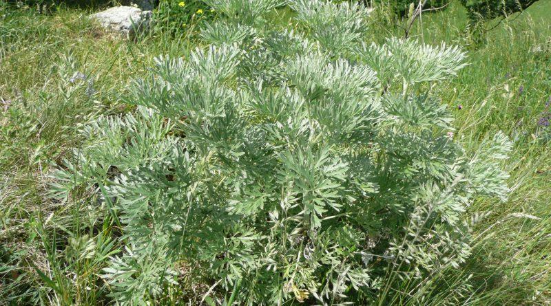 ПОЛЫНЬ ГОРЬКАЯ (Artemisia absintium L)