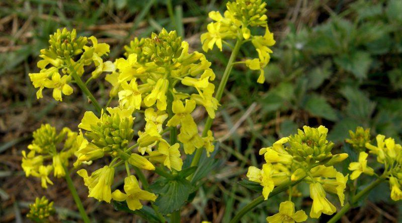 СУРЕПКА ОБЫКНОВЕННАЯ (Barbarea vulgaris R. Вг.)