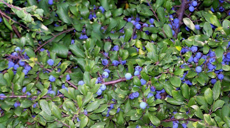 Prunus spinosa L
