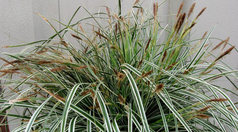 ОСОКА (Carex.)