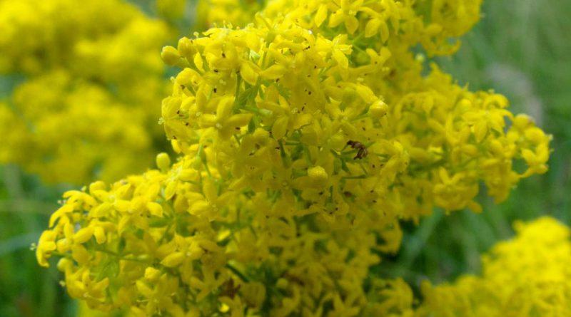 ПОДМАРЕННИК НАСТОЯЩИЙ (подмаренник желтый) (Galium verum L.)