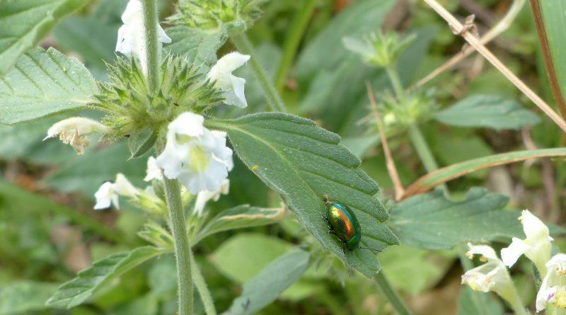 ПИКУЛЬНИК ЛАДАННИКОВЫЙ (Galeopsis ladanum L.)