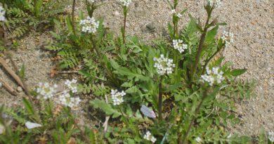ПАСТУШЬЯ СУМКА (Capsella bursapastoris Medis.)