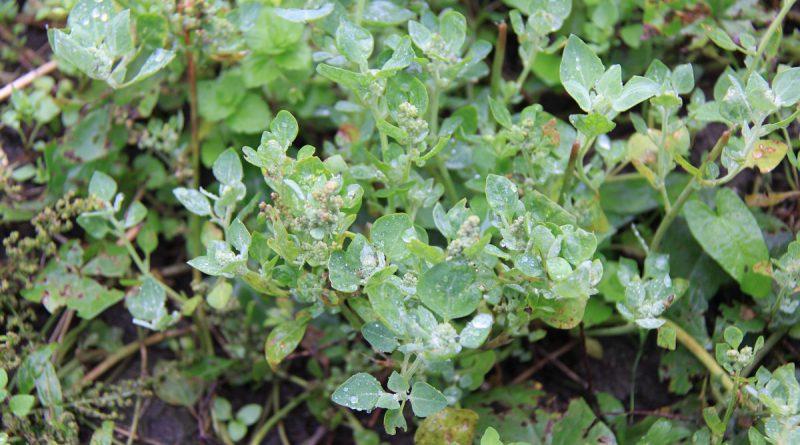 МАРЬ ВОНЮЧАЯ (Chenopodium vulvaria L.)