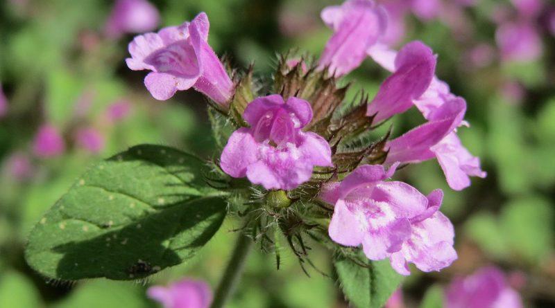 ПАХУЧКА ОБЫКНОВЕННАЯ (Clinopodium vulgare L. (Calamintha vulgaris Druce.).)