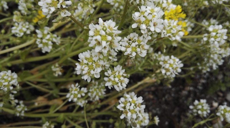 ЛОЖЕЧНАЯ ТРАВА (Cochlearia arctica Schl. (Cochlearia officinalis L.).)