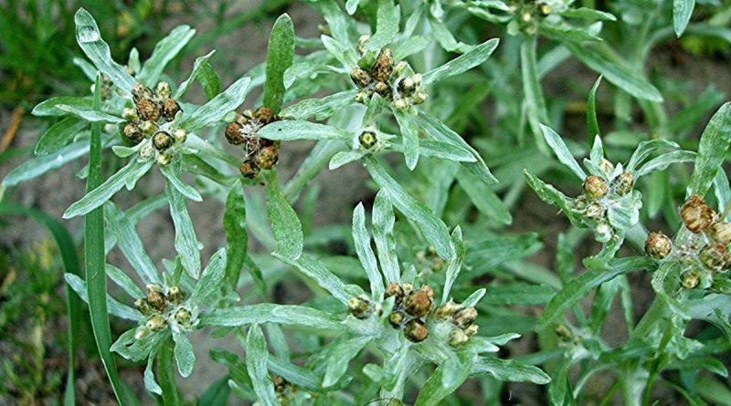 СУШЕНИЦА ТОПЯНАЯ (сушеница болотная) (Gnaphalium uliginosum L.)