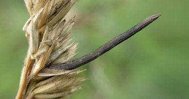 СПОРЫНЬЯ (Claviceps purpurea Tul.)