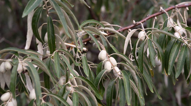 ЛОХ УЗКОЛИСТНЫЙ (лох обыкновенный) (Elaeagnus angustifolia L.)