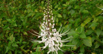 ПОЧЕЧНЫЙ ЧАЙ (Ortosiphon stamineus Benth.)