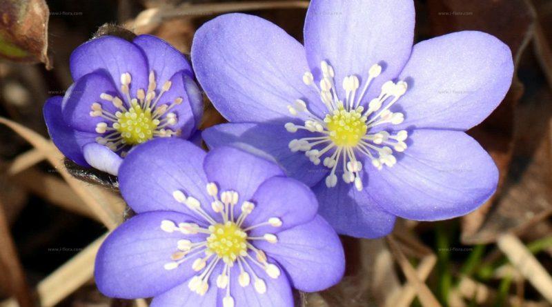 ПЕРЕЛЕСКА БЛАГОРОДНАЯ (Hepatica nobilis Schreb. (Anemone hepatica L.).)