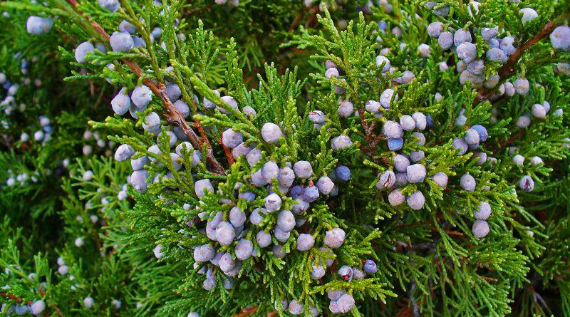 МОЖЖЕВЕЛЬНИК КАЗАЦКИЙ (Juniperus sabina L.)