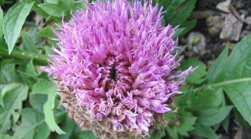 ЛЕВЗЕЯ САФЛОРОВИДНАЯ (Leuzea carthamoides D. С.)
