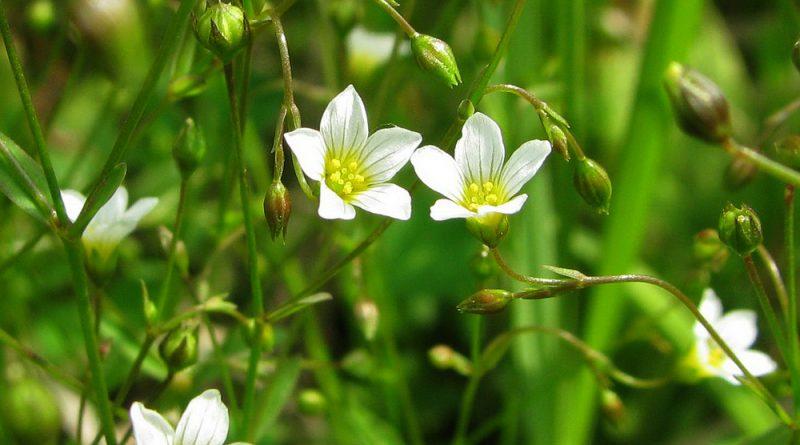 ЛЕН СЛАБИТЕЛЬНЫЙ (Linum catharticum L.)