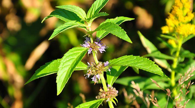 МЯТА ПОЛЕВАЯ (Mentha arvensis L.)