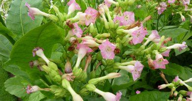ТАБАК НАСТОЯЩИЙ (табак папиросный) (Nicotiana tabacum L.)