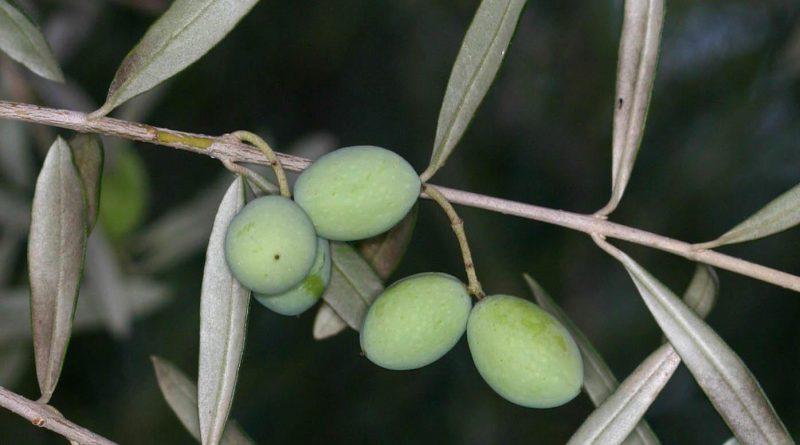 МАСЛИНА ЕВРОПЕЙСКАЯ (Olea europaea L.)