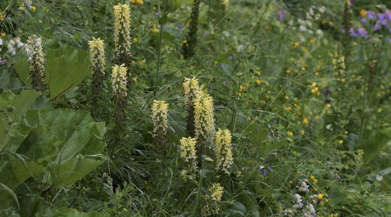 МЫТНИК ХОХЛАТЫЙ (Pedicularis comosa L.)