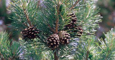 СОСНА ОБЫКНОВЕННАЯ (сосна лесная) (Pinus silvestris L.)