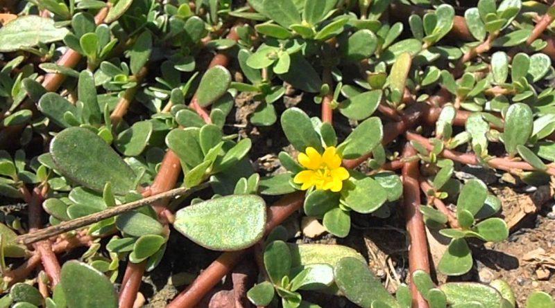 ПОРТУЛАК ОГОРОДНЫЙ (Portulaca oleracea L.)