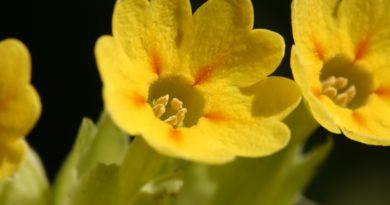 ПЕРВОЦВЕТ ЛЕКАРСТВЕННЫЙ (Primula officinalis (L.) Hill.)