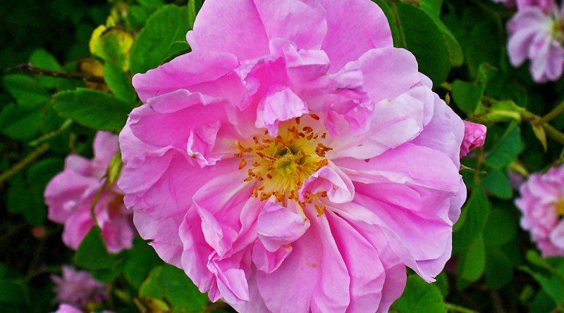 РОЗА КРЫМСКАЯ (Rosa damascena Mill.)