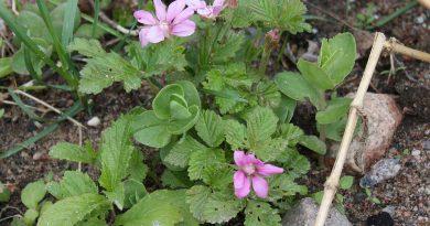 ПОЛЕНИКА (Rubus arcticus L.)