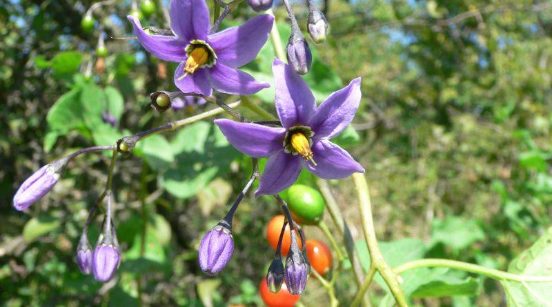 ПАСЛЕН СЛАДКО-ГОРЬКИЙ (Solanum dulcamara L.)