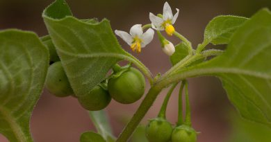ПАСЛЕН ЧЕРНЫЙ (Solanum nigrum L.)