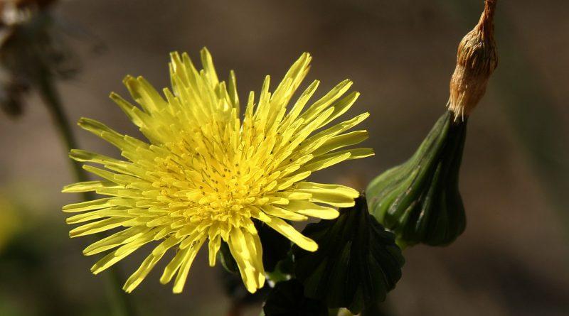 ОСОТ ОГОРОДНЫЙ (Sonchus oleraceus L.)