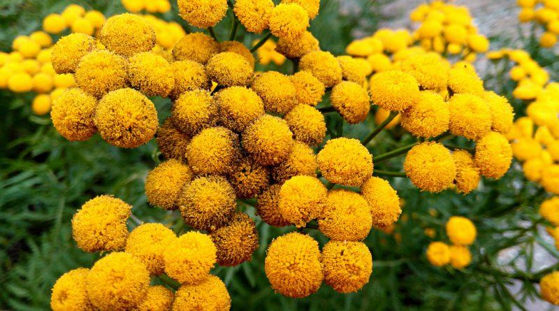 ПИЖМА ОБЫКНОВЕННАЯ (дикая рябинка) (Tanacetum vulgare L)