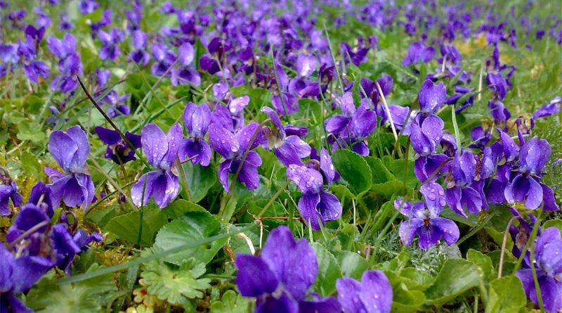 ФИАЛКА ДУШИСТАЯ (Viola odorata L.)